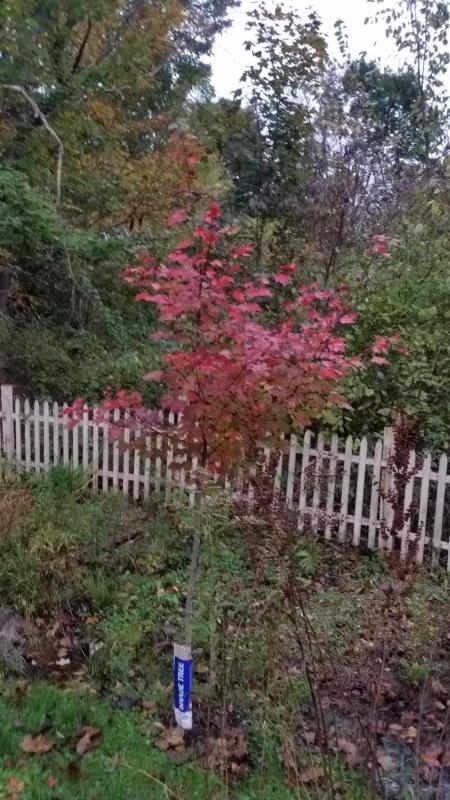 October glory maple 10-13-18trnd