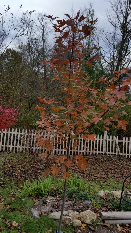 Autumn Blaze maple 10-21-18-trnd