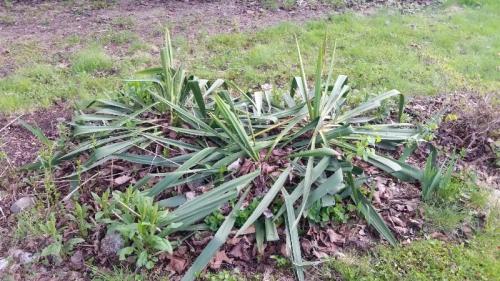 Daffodil-white wavy