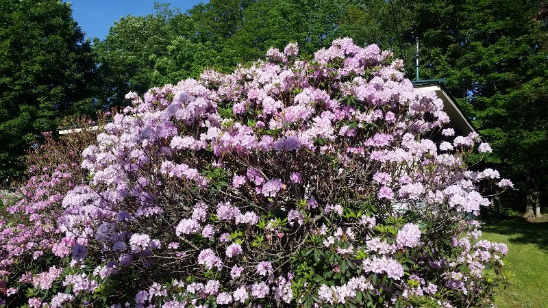 Rhodie - right in full bloom (a little past)