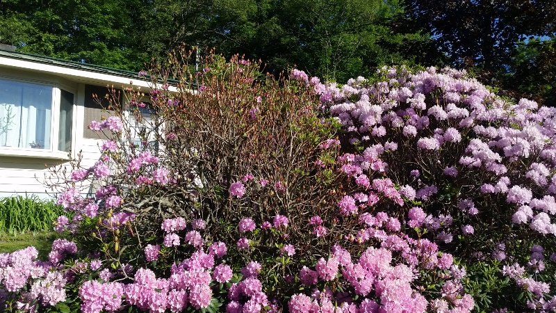 Rhodie - left showing green and bottom in full bloom