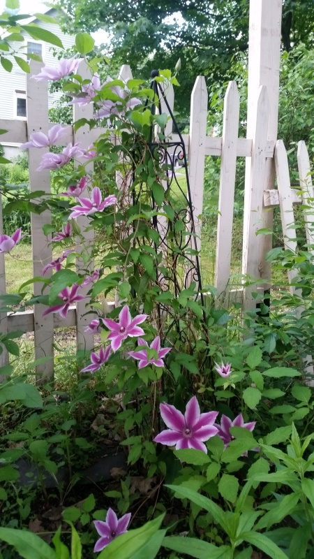 Clematis 6-21-19 - 3 other plant-trnd