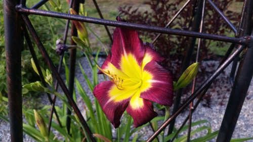 Day lily - peach