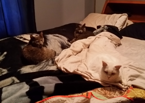 All 3 cats on bed