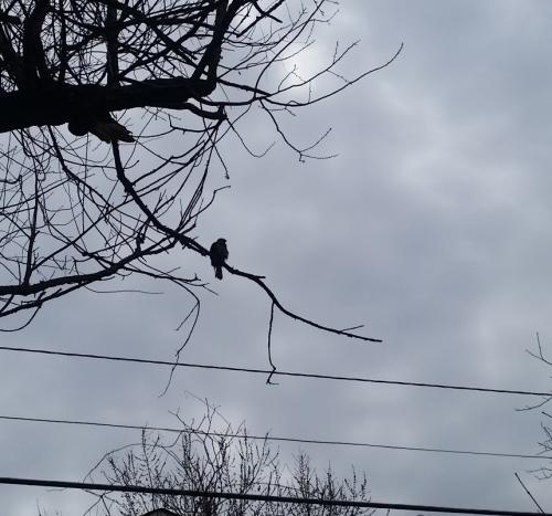 Hawk in tree - 1