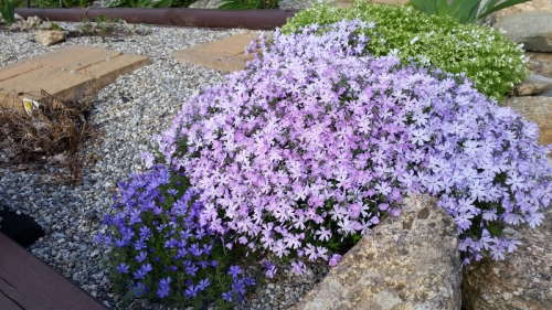 Lavender phlox 5-21-19