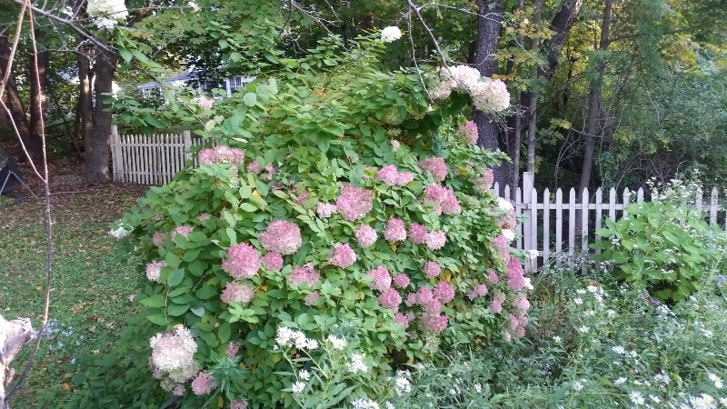 Hydrangea tree with blushing blooms