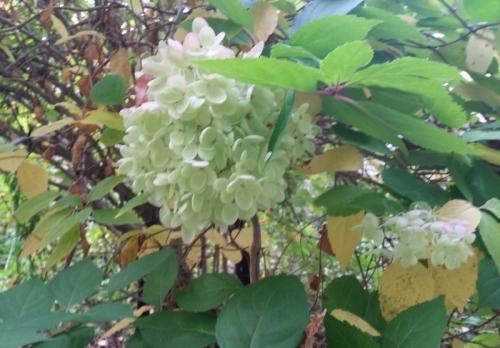 Hydrangea tree back side green blooms 9-28