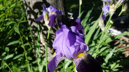 Iris - white with purple petals