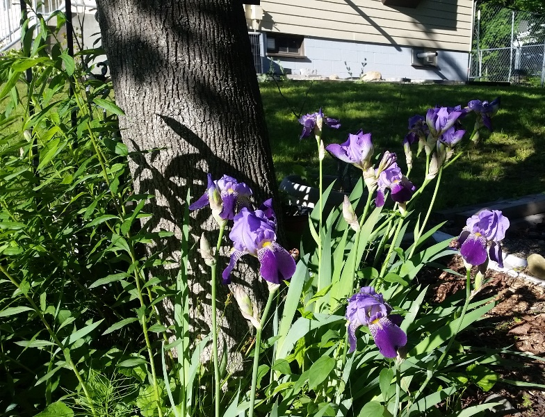 Iris - purple bunch by tree