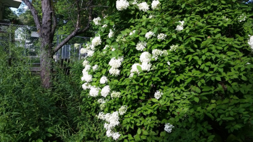 Hydrangea tree in bloom-2