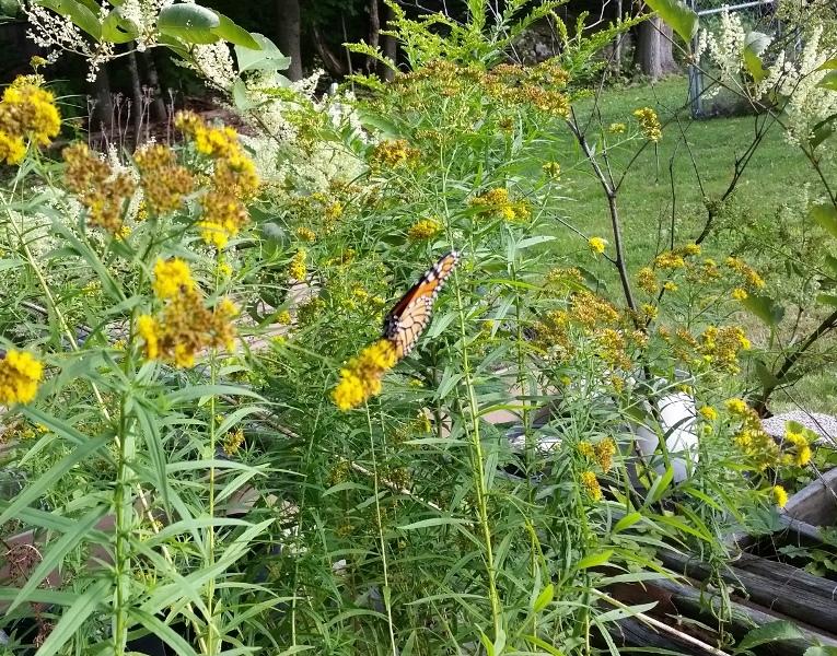 Monarch butterfly 9-3