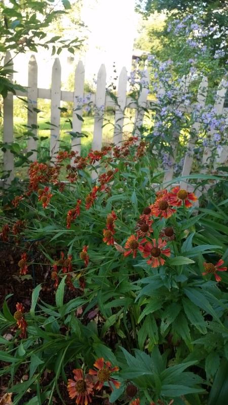 Red daisy - trnd