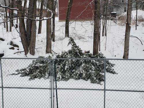 Flattened fir in backyard - ice