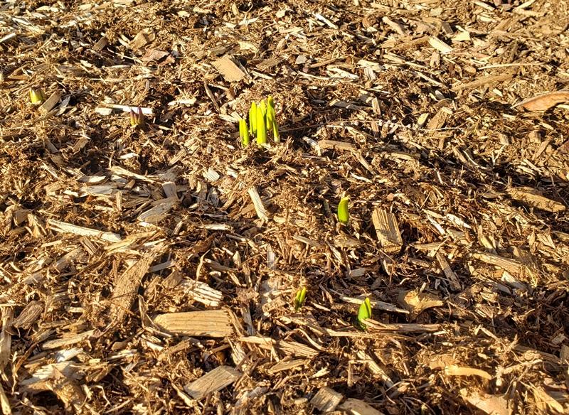 Daffodil greenery by fence 3-21-20