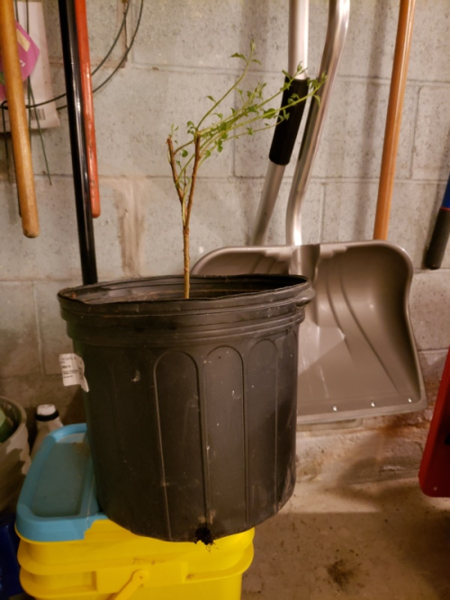 Nanking cherry potted on 3-31-20-trnd