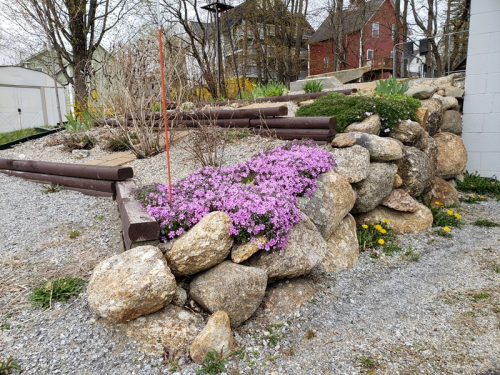 Phlox blooming 5-8-20
