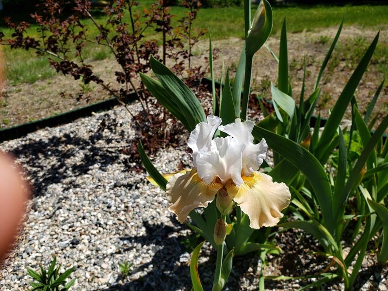 Iris - yellow and white
