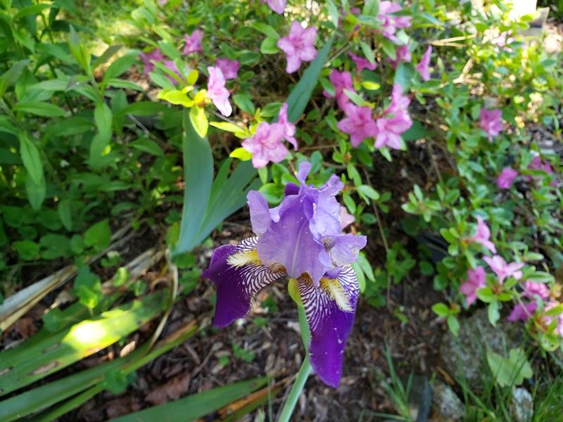 Iris - light purple with dark purple flag