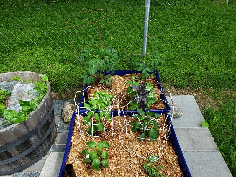 Tomatoes peppers basil and lemon thyme 2