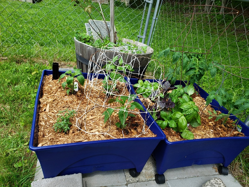 Tomatoes peppers basil and lemon thyme 1