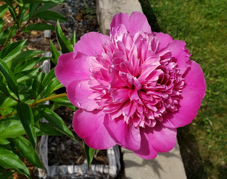 Peony bloom - madame emile debatene