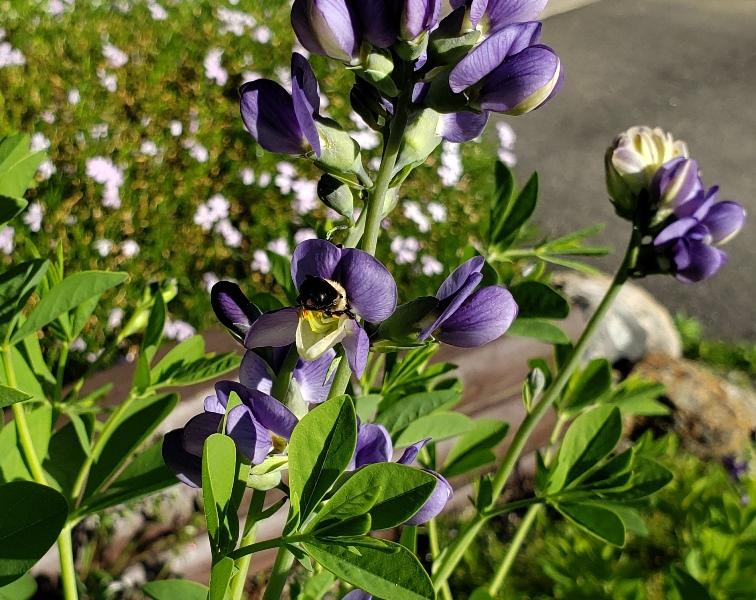 Baptisia (false indigo) with bee-cropped to closer-extra