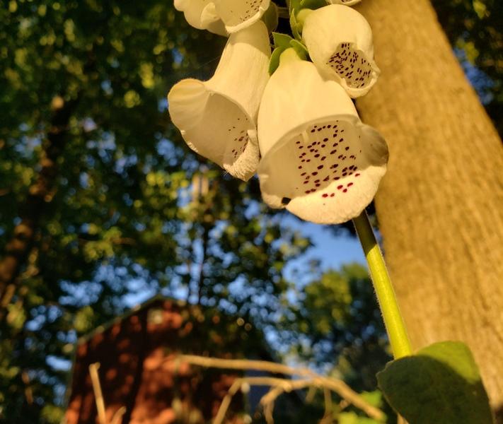 Foxglove white in back inside flower