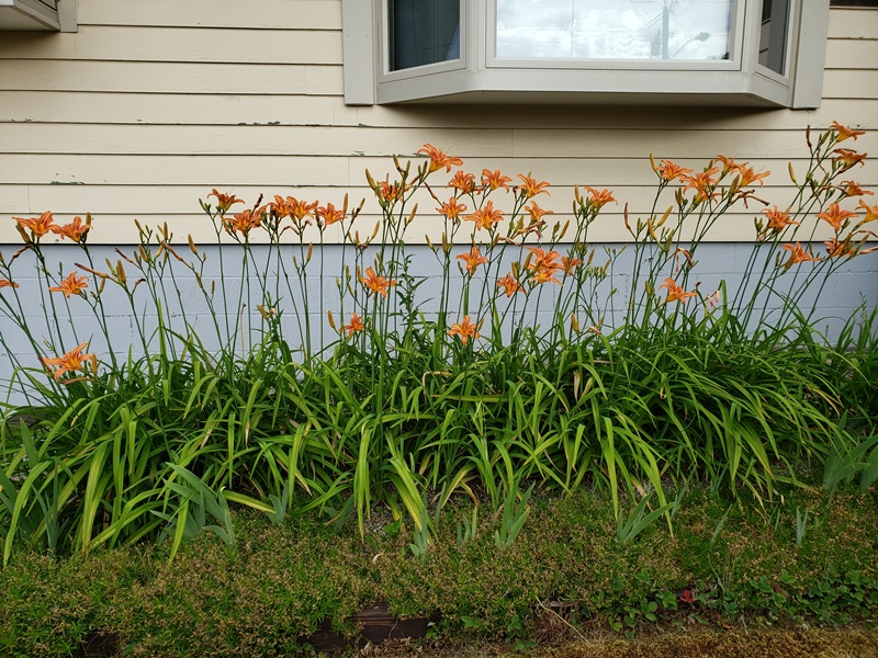 Day Lilies in front