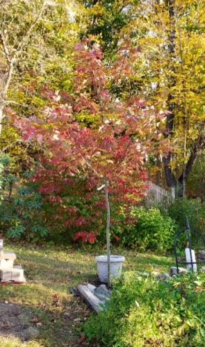 Autumn Blaze maple 2