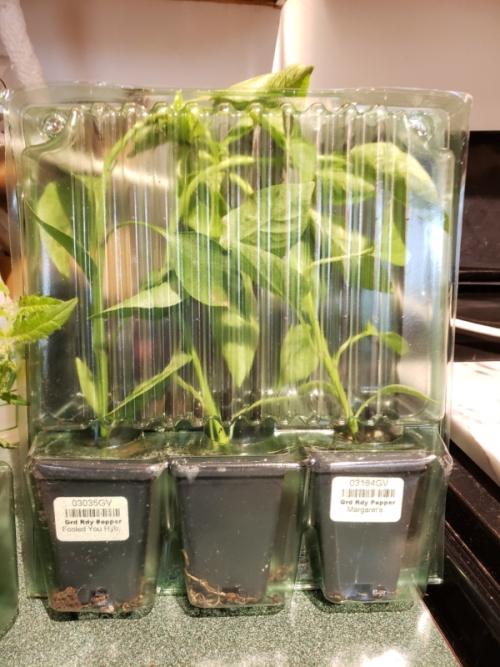 Package tomato plants-trnd