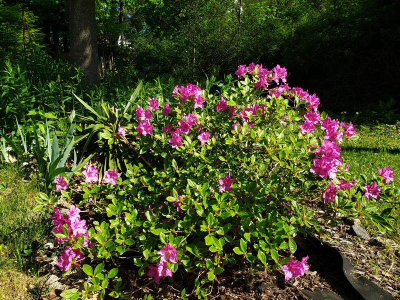 Small rhododendron