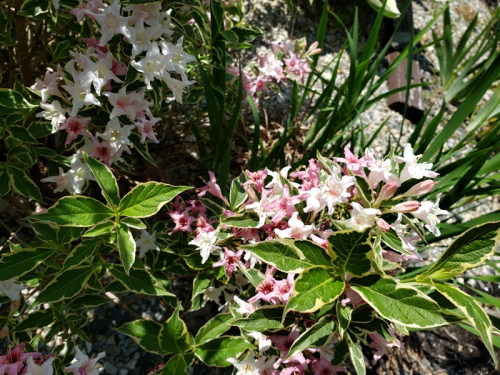 Weigala - variegated 6-6-20 with color to blooms-trnd