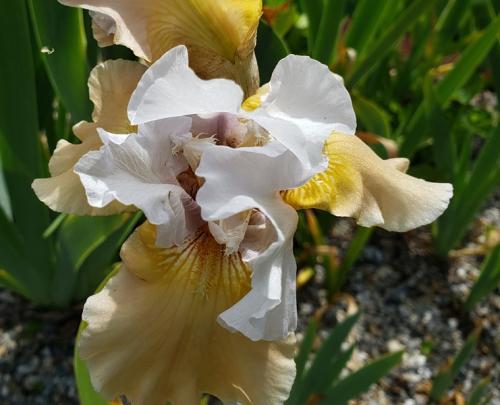 Iris - peach color