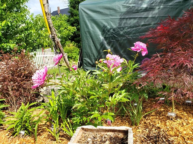 Peony plants bloom - madame emile debatene