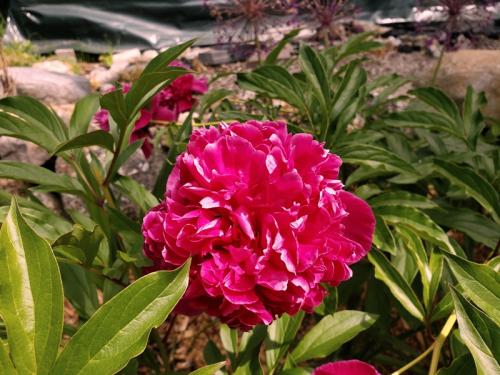 Peony Filix Crouse flowers