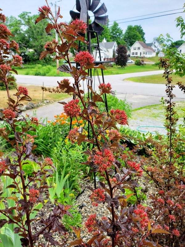 Ninebark at Driveway Flowers-trnd