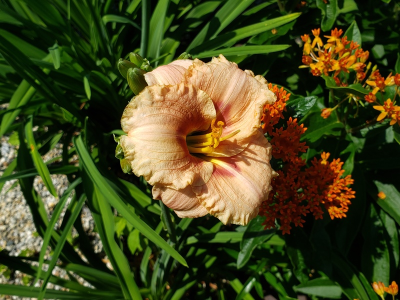 Day lily with butterfly weed