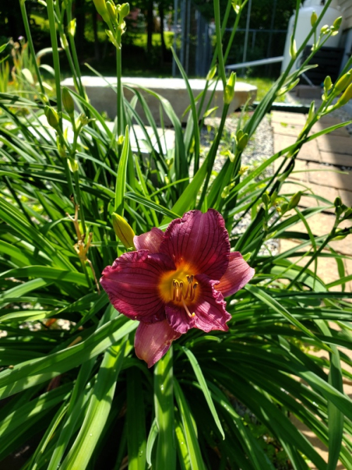 Day lily - Little Business