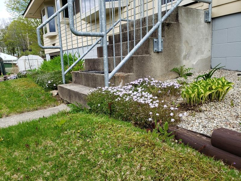 Creeping phlox by stairs