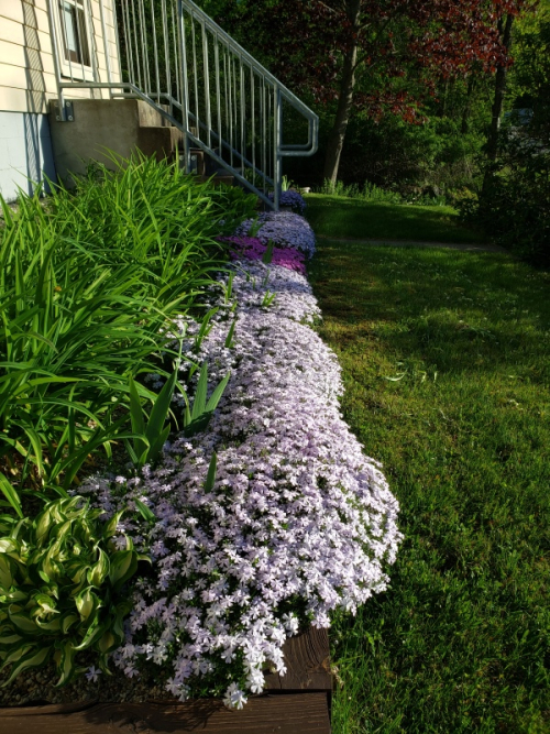 Phlox at front of house - all in bloom 5-22-20 - trnd