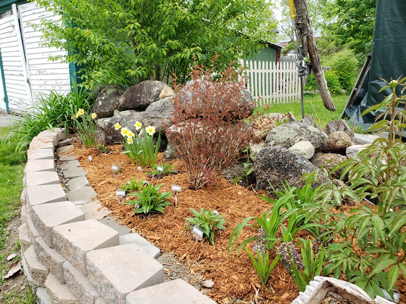 Roadside garden mulched from laced maple