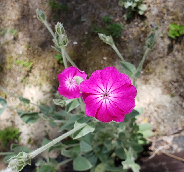 Rose campion  two flowers