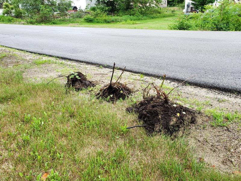 Rose stumps at road