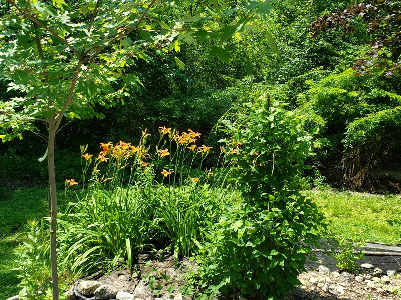 Day lillies in side yard next to clematis