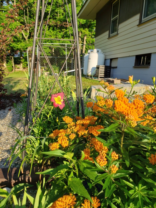 Day lily and butterfly weed-trnd