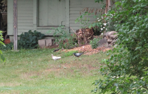 White pigeon 1