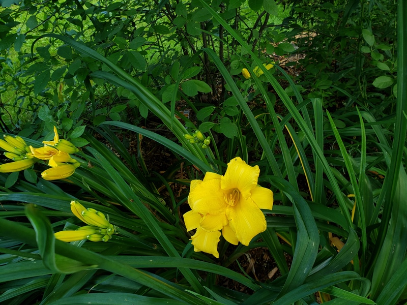 Day Lily Stella D Oro