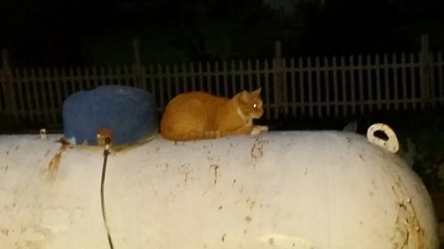 Yellow cat 2