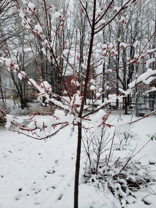 Burgundy Bell maple flowers and snow 1-trnd